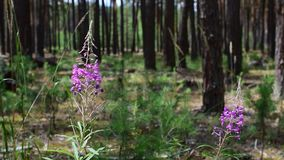 Chamerion angustifolium flowers. In pine forest stock footage