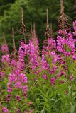Chamerion angustifolium. The pink flowers of Fire weed Chamerion angustifolium blooming in the town of Geiranger, Norway royalty free stock photos