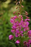 Chamerion angustifolium. The pink flowers of Fireweed Chamerion angustifolium blooming in the town of Geiranger, Norway stock photos