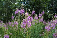 Chamerion angustifolium with purple flowers Royalty Free Stock Photo