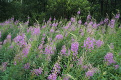 Chamerion angustifolium with purple flowers Stock Photography