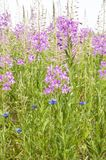 Chamerion angustifolium. The wild medicinal plant. Fireweed. Epilobium angustifolium. Chamerion angustifolium. Field in a midland of Russia royalty free stock images