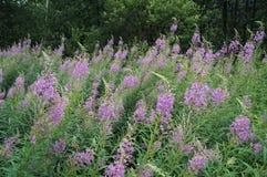 Chamerion angustifolium z purpurowymi kwiatami Fotografia Stock