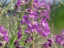 Chamerion för oleanderWillowherb angustifolium, också Epilobiumangustifolium Mjölkörten lämnar från denna växt kan genomgå fotografering för bildbyråer