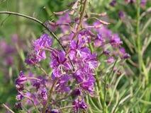 Chamerion för oleanderWillowherb angustifolium, också Epilobiumangustifolium Mjölkörten lämnar från denna växt kan genomgå arkivbilder