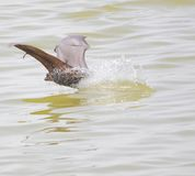 Chamgadar animal. Usually the chamgadar hanging upside down on the tree is flying on the water of pond surface.water in the fierce heat provides relief to the royalty free stock photo