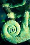 Chamäleon Stockbilder