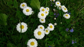 Chammomile Royaltyfria Bilder