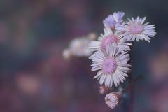 `Chammy` Close up foldover offset of Purple Chamomile Blossoms in Springtime ultraviolet edit by ZDS stock photography