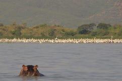 Chamo del lago: Testa del hyppo che si alza dall'acqua immagine stock