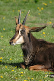 Chamois. Very nice chamois on the fresh green grass Royalty Free Stock Image