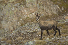 Chamois. Wild chamois on italian alps Stock Image