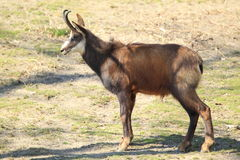Chamois. The chamois in the grassland Stock Images