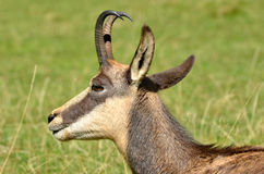 Chamois Royalty Free Stock Photo