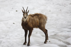 Chamois Royalty Free Stock Photos