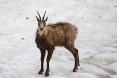 Chamois. A chamois on the snow Royalty Free Stock Photos