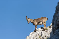 Chamois. / mountain goat on a rock Royalty Free Stock Image