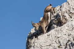Chamois Photo stock