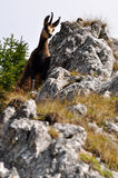 Chamois Photographie stock