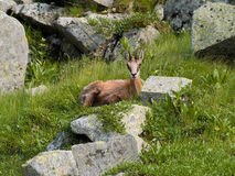 Chamois. Lying on the grass between the stones Royalty Free Stock Photography