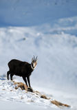 Chamois. An alpine chamois in a snow covered mountainside, in Swiss Alps Stock Photos
