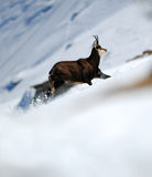Chamois. A chamois running in the snow Stock Photos