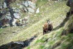 Chamois. Alpine chamois in Gran Paradiso National Park, Italy Royalty Free Stock Image
