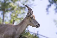Chamois Stock Images