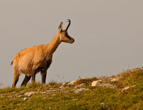 A Chamois on an alpine meadow. In the early morning, the Chamois (Rupicapra rupicapra) climbs uphill on the steep meadow slopes of the Ligurian Alps in Italy Stock Images
