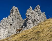 Chamois in Alps. Mountain landscape Royalty Free Stock Photography