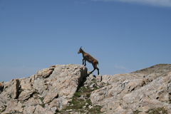 Chamois in the Alps , France. Hiking Stock Photography