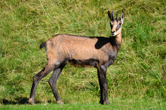 Chamois from Alps mountains. Chamois, alpine goat from Mont Blanc massif of Alps Royalty Free Stock Photo