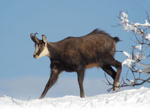 Chamois of the Alps Rupicapra rupicapra. Chamois of the Alps in winter running on the snow Stock Images