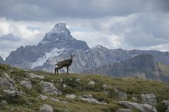 Chamois against the top of the mountain Stock Photography