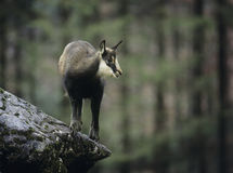Chamois balancing on rock in forest Royalty Free Stock Images