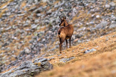 Chamois. Beautiful chamois in the Mountain of Pyrenees(Spain Stock Photos