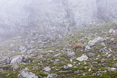 Chamois. Black goat - on a mountain landscape in Romania Stock Image
