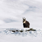 Chamois buck in the snow Stock Photo