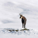 Chamois buck in the snow Stock Image