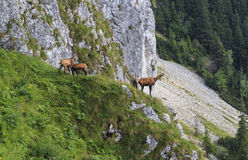 Chamois in the carpathian mountains Royalty Free Stock Photos