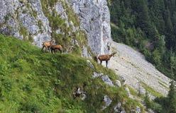 Chamois in the carpathian mountains Royalty Free Stock Photos