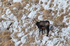 Chamois carpathien en montagnes de Piatra Craiului photographie stock