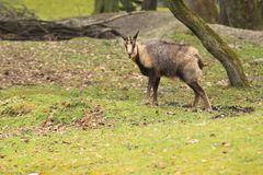 Chamois. Standing in the grass Royalty Free Stock Photography