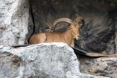 Chamois in cliff Stock Photos
