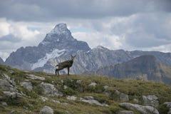 Chamois contre le dessus de la montagne Photographie stock