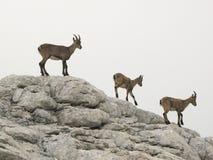 Chamois dans les Alpes juliens Photos libres de droits