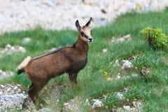 Chamois de gosse (Rupicapra Carpatica) Photographie stock libre de droits