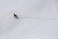 Chamois de Rebeco dans la neige Images stock