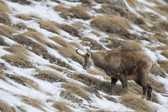 Chamois deer looking for food Stock Photography