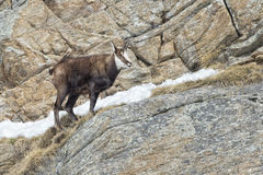 Chamois deer in the rocks background Stock Images